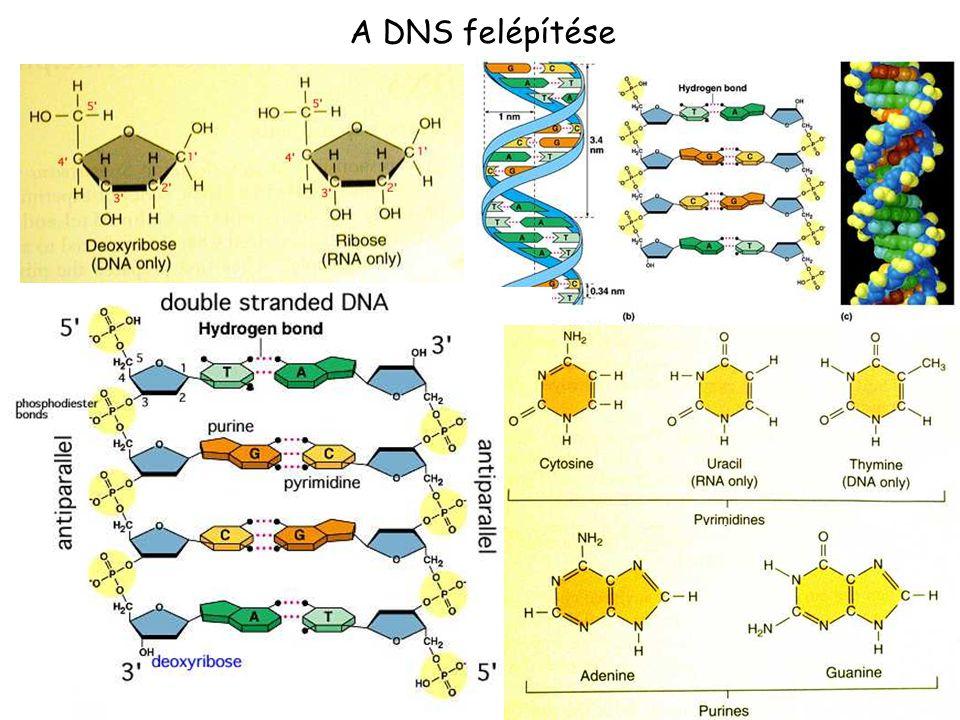 19 DNS ELVÁLASZTÁSA ELEKTROFORÉZIS denaturáló nem-denaturáló lúgos, (DNS, agaróz) formaldehid, glioxál, DMSO (RNS, agaróz) urea (DNS, akrilamid) méret > 50 kb 100bp-50 kb < 1000 bp Mátrix agaróz agaróz 0.5- 2% poliakrilamid technika pulzáló gélelektroforézis hagyományos gélelektroforézis (5-20%) hagyományos LÁTHATÓVÁ TÉTEL: etídium bromid, interkaláló festék  nem-denturáló körülmények, első sorban duplaszálú DNS-t fest, de egyszálú nukleinsavakat is.