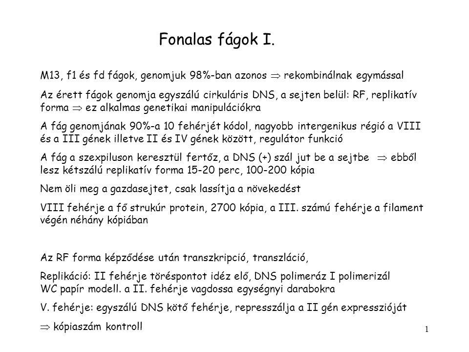 1 Fonalas fágok I. M13, f1 és fd fágok, genomjuk 98%-ban azonos  rekombinálnak egymással Az érett fágok genomja egyszálú cirkuláris DNS, a sejten bel