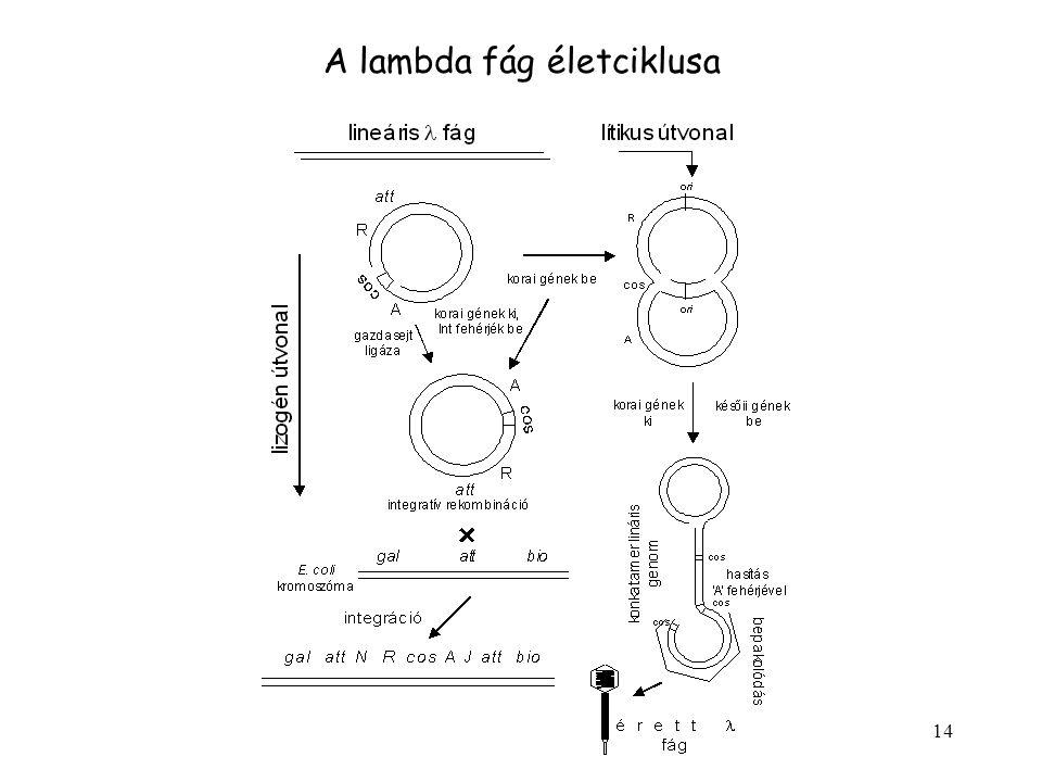 14 A lambda fág életciklusa