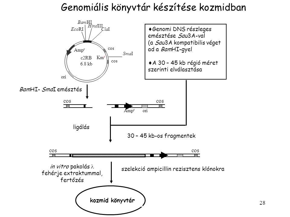 28 Genomiális könyvtár készítése kozmidban  Genomi DNS részleges emésztése Sau3A-val (a Sau3A kompatibilis véget ad a BamHI-gyel  A 30 – 45 kb régió méret szerinti elválasztása BamHI- SmaI emésztés SmaI c2RB 6.8 kb cos EcoRI BamHI HindIII ClaI Amp r ori Km r Amp r ori cos ligálás 30 – 45 kb-os fragmentek cos in vitro pakolás fehérje extraktummal, fertőzés szelekció ampicillin rezisztens klónokra kozmid könyvtár