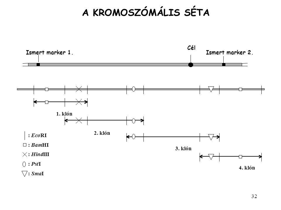 32 A KROMOSZÓMÁLIS SÉTA Ismert marker 1. Cél Ismert marker 2. 1. klón 2. klón 3. klón 4. klón :EcoRI :BamHI :HindIII :PstI :SmaI