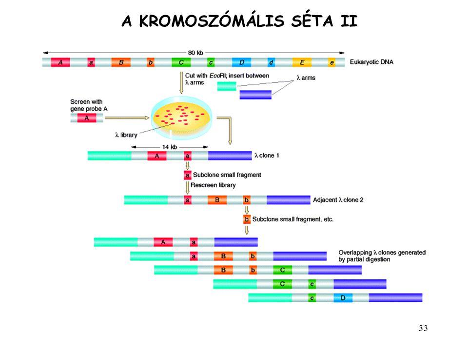 33 A KROMOSZÓMÁLIS SÉTA II