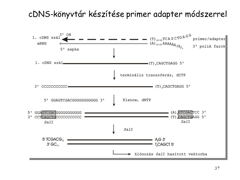 37 cDNS-könyvtár készítése primer adapter módszerrel