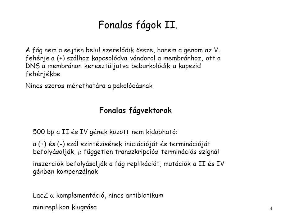 4 Fonalas fágok II.A fág nem a sejten belül szerelődik össze, hanem a genom az V.