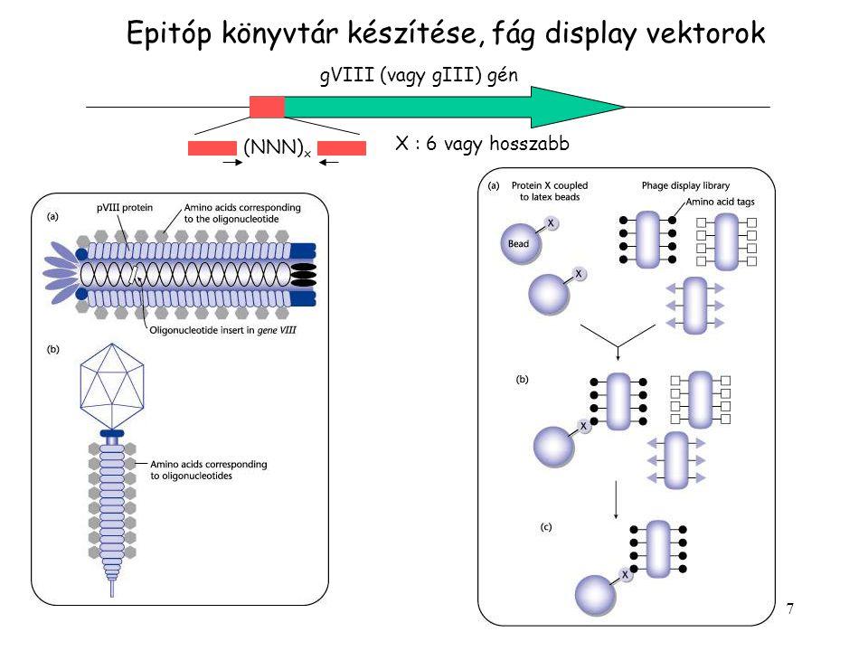 7 Epitóp könyvtár készítése, fág display vektorok gVIII (vagy gIII) gén (NNN) x X : 6 vagy hosszabb