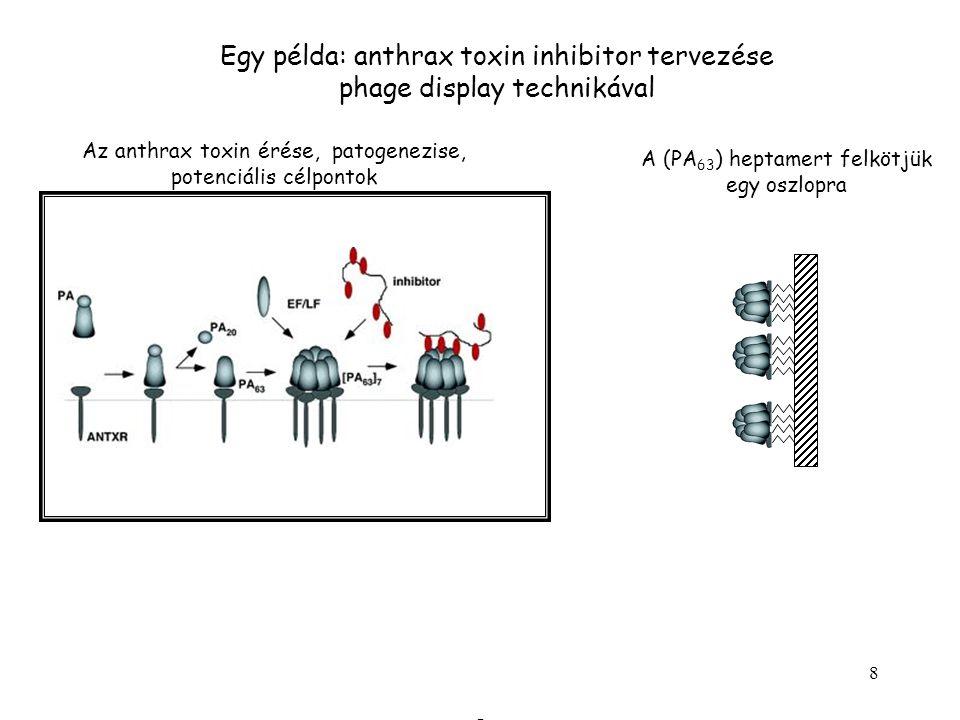 8 Egy példa: anthrax toxin inhibitor tervezése phage display technikával Az anthrax toxin érése, patogenezise, potenciális célpontok A (PA 63 ) heptamert felkötjük egy oszlopra