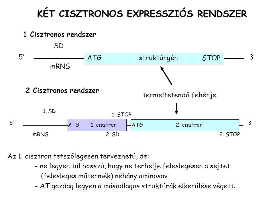 KÉT CISZTRONOS EXPRESSZIÓS RENDSZER 1 Cisztronos rendszer ATGstruktúrgén 5'3' SD mRNS 2 Cisztronos rendszer termeltetendő fehérje 2. STOP 1. STOP ATG1