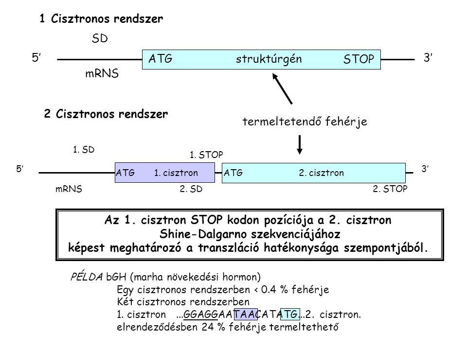 1 Cisztronos rendszer ATGstruktúrgén 5'3' SD mRNS 2 Cisztronos rendszer termeltetendő fehérje 2. STOP 1. STOP ATG1. cisztron 5'3' 1. SD ATG2. cisztron