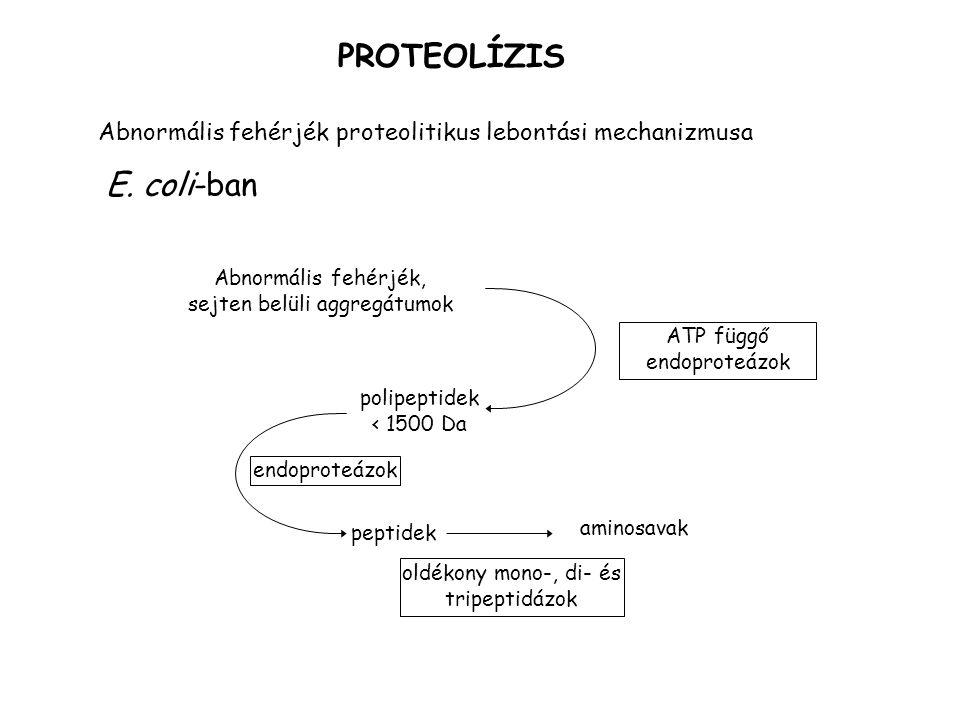 PROTEOLÍZIS Abnormális fehérjék proteolitikus lebontási mechanizmusa E. coli-ban Abnormális fehérjék, sejten belüli aggregátumok ATP függő endoproteáz