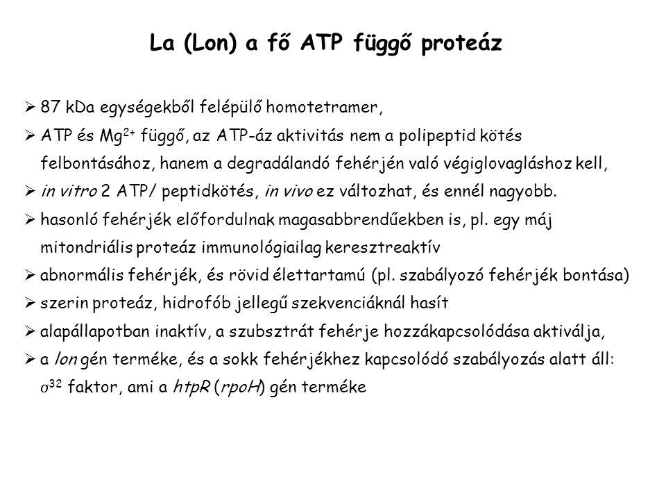 La (Lon) a fő ATP függő proteáz  87 kDa egységekből felépülő homotetramer,  ATP és Mg 2+ függő, az ATP-áz aktivitás nem a polipeptid kötés felbontás