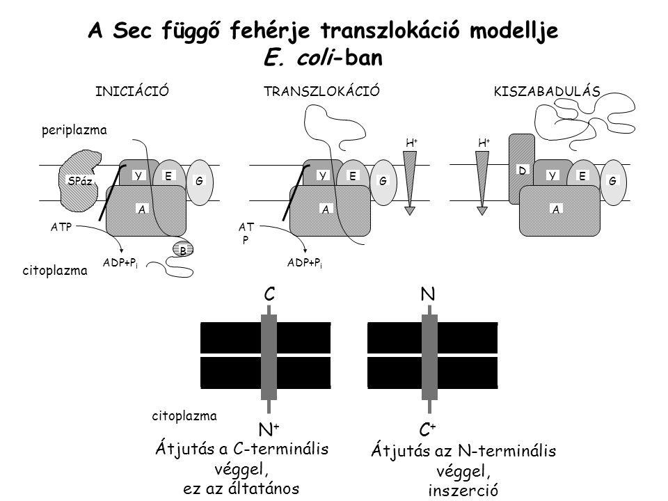 A Sec függő fehérje transzlokáció modellje E. coli-ban ATP ADP+P i SPáz YE G A B YE G A AT P ADP+P i YE G A D H+H+ H+H+ periplazma citoplazma INICIÁCI