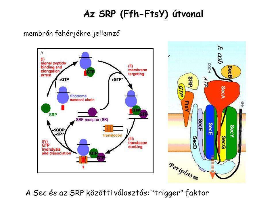 """Az SRP (Ffh-FtsY) útvonal A Sec és az SRP közötti választás: """"trigger"""" faktor membrán fehérjékre jellemző"""