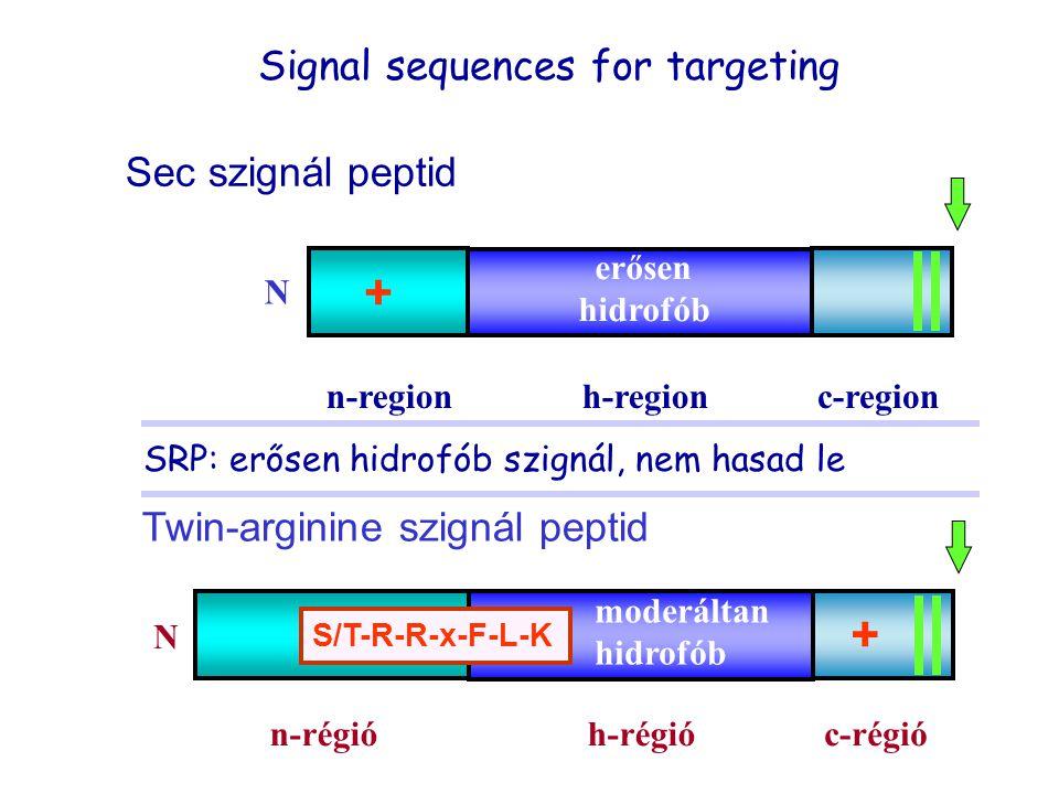 Twin-arginine szignál peptid n-régióc-régióh-régió N + moderáltan hidrofób S/T-R-R-x-F-L-K n-regionc-region Sec szignál peptid h-region N erősen hidro