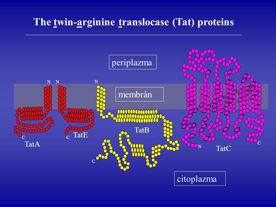 citoplazma membrán periplazma N N N N C C C C TatA TatE TatB TatC The twin-arginine translocase (Tat) proteins