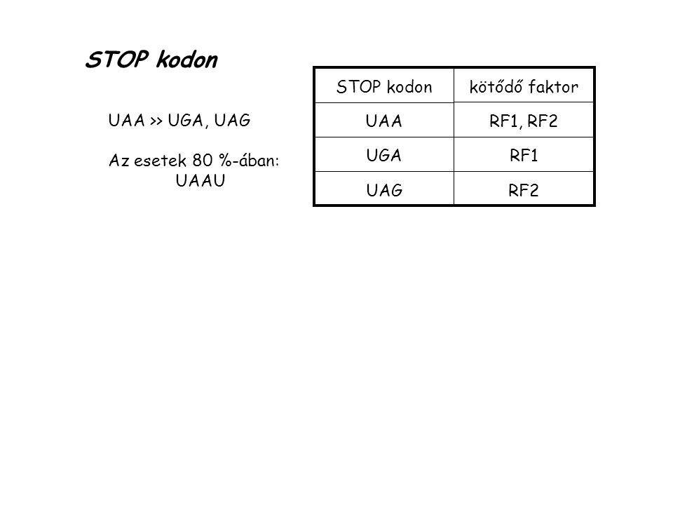 STOP kodon UAA UGA UAG kötődő faktor RF1, RF2 RF1 RF2 UAA >> UGA, UAG Az esetek 80 %-ában: UAAU