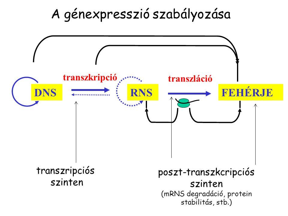 FEHÉRJERNS transzláció transzkripció DNS transzripciós szinten poszt-transzkcripciós szinten (mRNS degradáció, protein stabilitás, stb.) A génexpresszió szabályozása