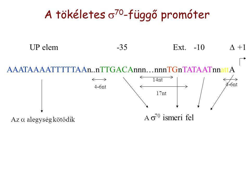 A tökéletes  70 -függő promóter AAATAAAATTTTTAAn..nTTGACAnnn…nnnTGnTATAATnnattA +1-10Ext.-35UP elem Az  alegység kötődik A  70 ismeri fel 4-6nt 14nt 17nt 4-6nt 
