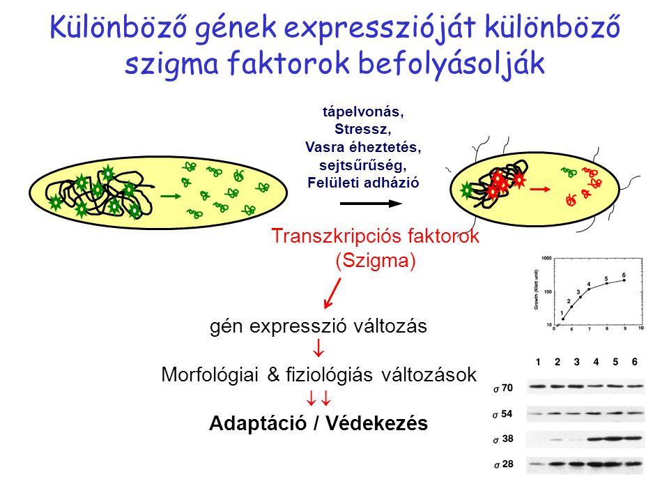Különböző gének expresszióját különböző szigma faktorok befolyásolják gén expresszió változás  Morfológiai & fiziológiás változások  Adaptáció / Véd