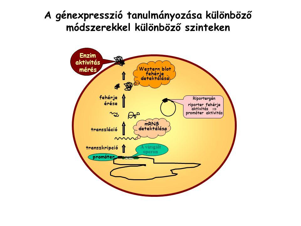 A génexpresszió tanulmányozása különböző módszerekkel különböző szinteken fehérje érése transzláció transzkripció Enzim aktivitás mérés mRNS detektálá