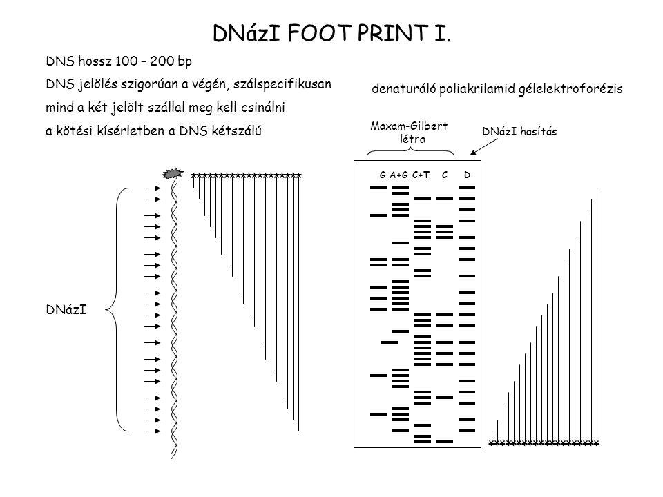 DNázI FOOT PRINT I. DNS hossz 100 – 200 bp DNS jelölés szigorúan a végén, szálspecifikusan mind a két jelölt szállal meg kell csinálni a kötési kísérl