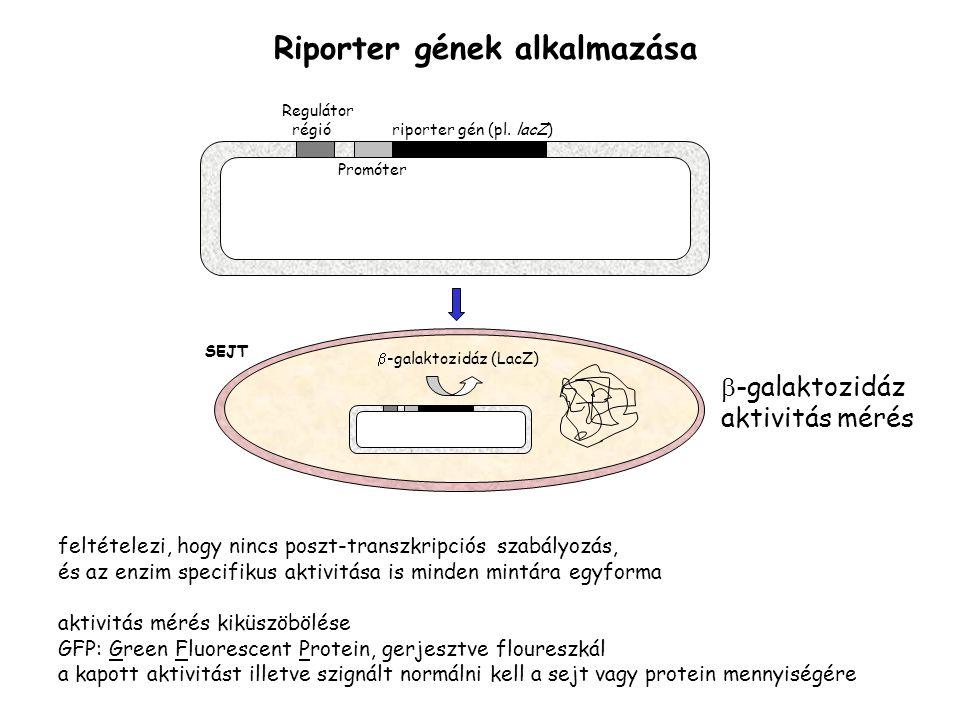 Regulátor régió riporter gén (pl. lacZ) Promóter Riporter gének alkalmazása  -galaktozidáz (LacZ) SEJT  -galaktozidáz aktivitás mérés feltételezi, h