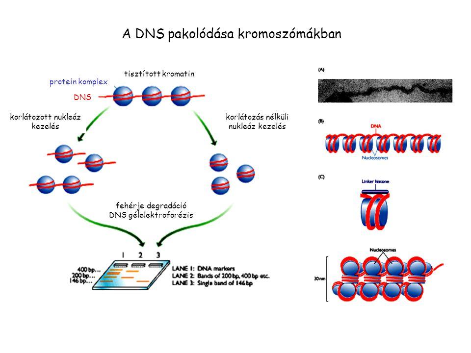 tisztított kromatin korlátozás nélküli nukleáz kezelés korlátozott nukleáz kezelés fehérje degradáció DNS gélelektroforézis protein komplex DNS A DNS