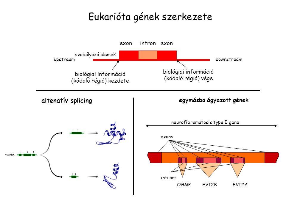 exon intron exon upstreamdownstream biológiai információ (kódoló régió) kezdete biológiai információ (kódoló régió) vége szabályozó elemek Eukarióta g