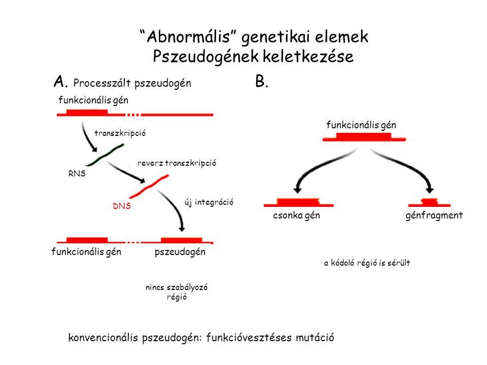 """""""Abnormális"""" genetikai elemek Pszeudogének keletkezése A. Processzált pszeudogén B. funkcionális gén transzkripció RNS reverz transzkripció DNS új int"""