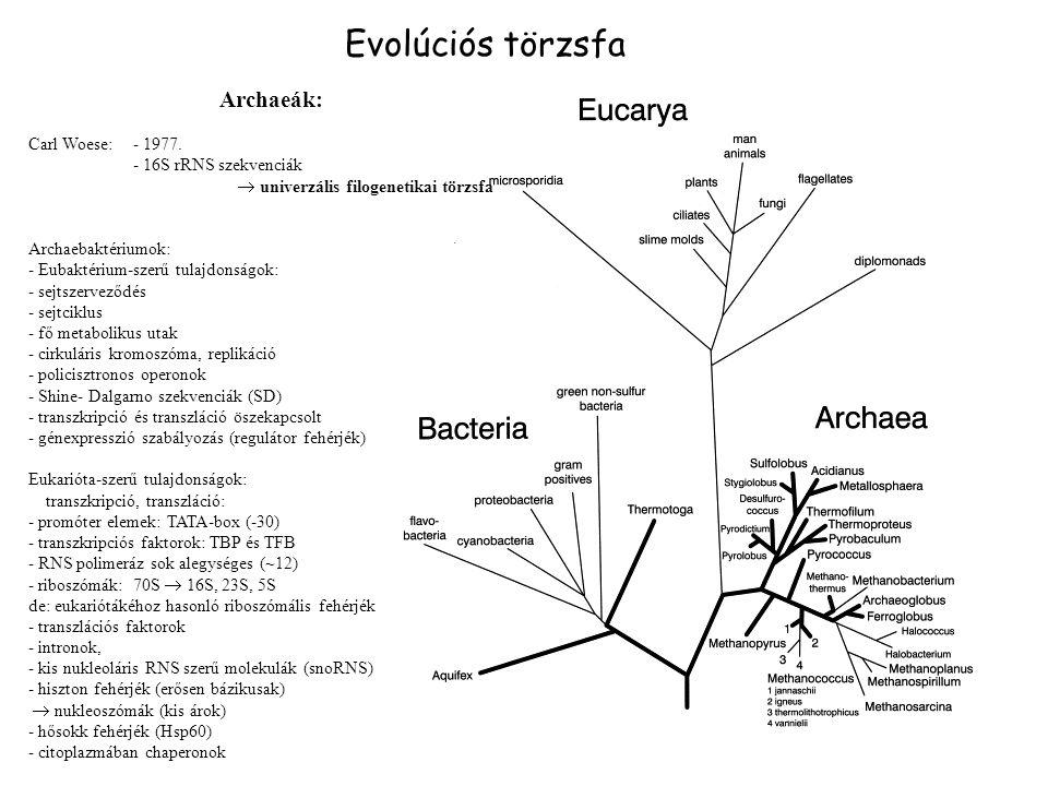 Archaeák: Carl Woese:- 1977. - 16S rRNS szekvenciák  univerzális filogenetikai törzsfa Archaebaktériumok: - Eubaktérium-szerű tulajdonságok: - sejtsz