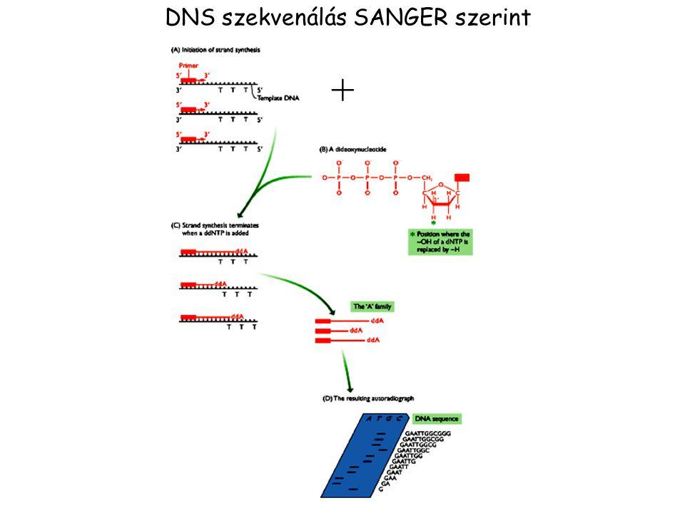 DNS szekvenálás SANGER szerint +