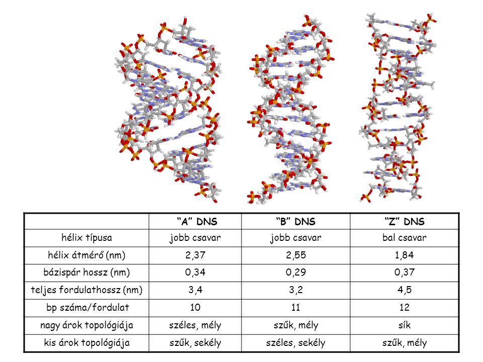 """""""A"""" DNS""""B"""" DNS""""Z"""" DNS hélix típusajobb csavar bal csavar hélix átmérő (nm)2,372,551,84 bázispár hossz (nm)0,340,290,37 teljes fordulathossz (nm)3,43,2"""