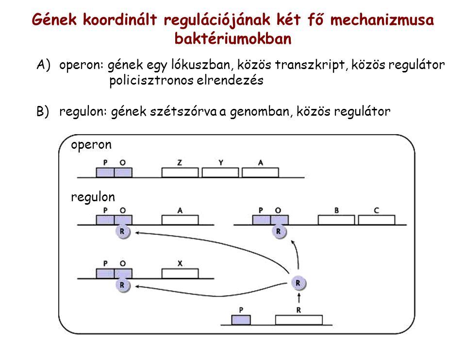 Gének koordinált regulációjának két fő mechanizmusa baktériumokban A)operon: gének egy lókuszban, közös transzkript, közös regulátor policisztronos elrendezés B)regulon: gének szétszórva a genomban, közös regulátor operon regulon
