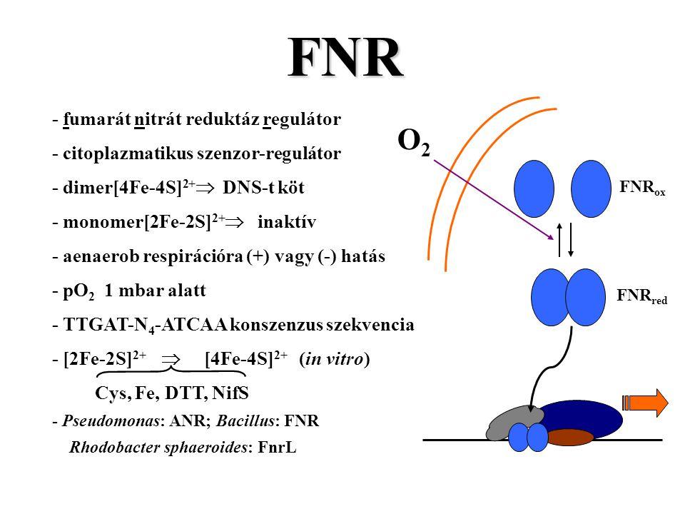 FNR - fumarát nitrát reduktáz regulátor - citoplazmatikus szenzor-regulátor - dimer[4Fe-4S] 2+  DNS-t köt - monomer[2Fe-2S] 2+  inaktív - aenaerob respirációra (+) vagy (-) hatás - pO 2 1 mbar alatt - TTGAT-N 4 -ATCAA konszenzus szekvencia - [2Fe-2S] 2+  [4Fe-4S] 2+ (in vitro) Cys, Fe, DTT, NifS - Pseudomonas: ANR; Bacillus: FNR Rhodobacter sphaeroides: FnrL O2O2 FNR red FNR ox