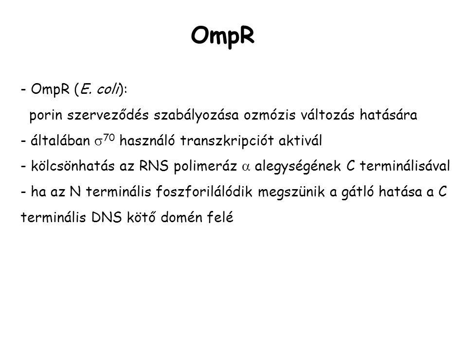 - OmpR (E. coli): porin szerveződés szabályozása ozmózis változás hatására - általában  70 használó transzkripciót aktivál - kölcsönhatás az RNS poli