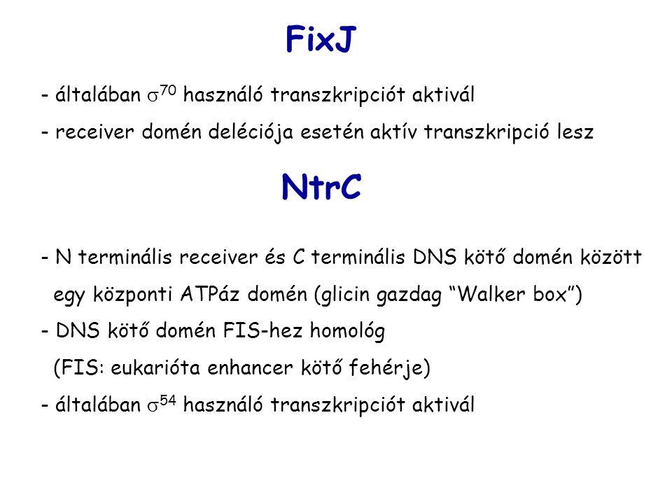 - általában  70 használó transzkripciót aktivál - receiver domén deléciója esetén aktív transzkripció lesz FixJ NtrC - N terminális receiver és C terminális DNS kötő domén között egy központi ATPáz domén (glicin gazdag Walker box ) - DNS kötő domén FIS-hez homológ (FIS: eukarióta enhancer kötő fehérje) - általában  54 használó transzkripciót aktivál