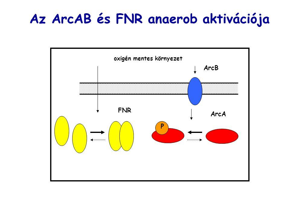 ArcB oxigén mentes környezet FNR P Az ArcAB és FNR anaerob aktivációja