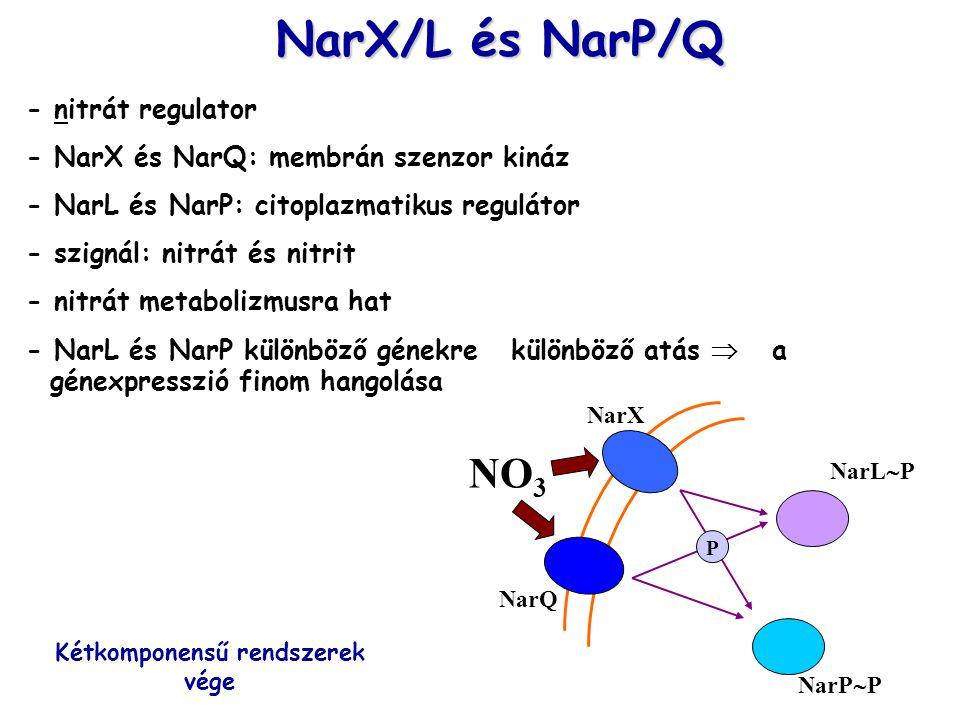 NarX/L és NarP/Q - nitrát regulator - NarX és NarQ: membrán szenzor kináz - NarL és NarP: citoplazmatikus regulátor - szignál: nitrát és nitrit - nitrát metabolizmusra hat - NarL és NarP különböző génekre különböző atás  a génexpresszió finom hangolása NO 3 NarP  P NarX NarQ NarL  P P Kétkomponensű rendszerek vége