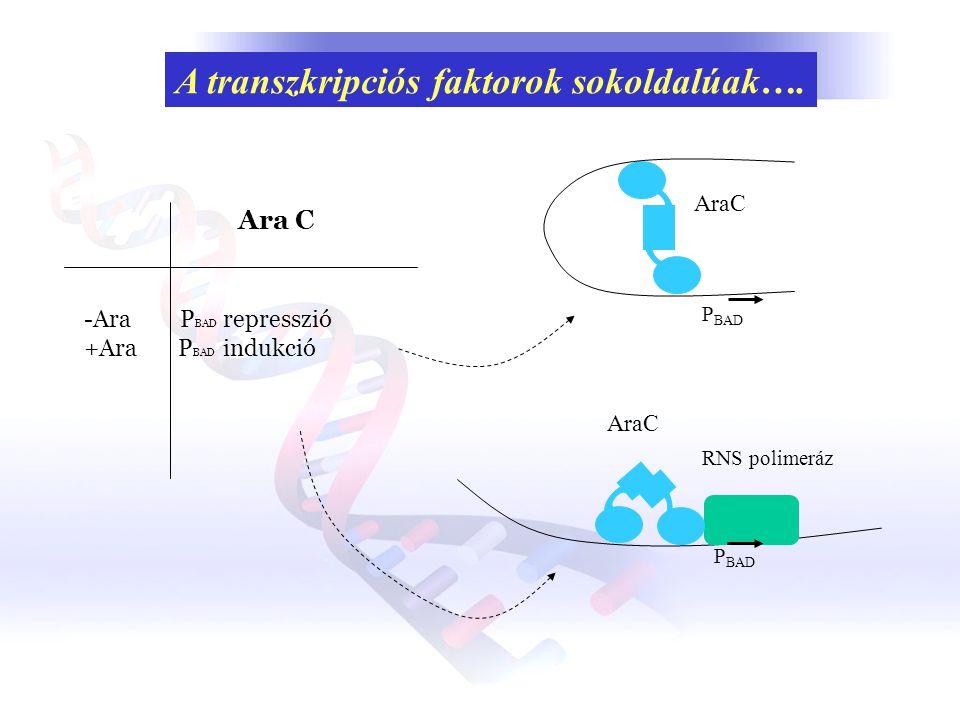 A transzkripciós faktorok sokoldalúak…. Ara C -Ara P BAD represszió +Ara P BAD indukció RNS polimeráz P BAD AraC P BAD