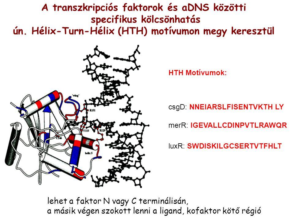 A transzkripciós faktorok és aDNS közötti specifikus kölcsönhatás ún. Hélix-Turn-Hélix (HTH) motívumon megy keresztül csgD: NNEIARSLFISENTVKTH LY merR