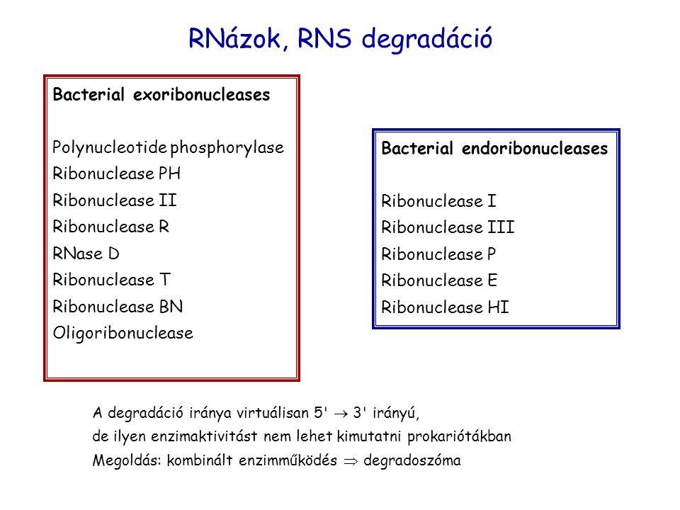 Bacterial exoribonucleases Polynucleotide phosphorylase Ribonuclease PH Ribonuclease II Ribonuclease R RNase D Ribonuclease T Ribonuclease BN Oligoribonuclease Bacterial endoribonucleases Ribonuclease I Ribonuclease III Ribonuclease P Ribonuclease E Ribonuclease HI A degradáció iránya virtuálisan 5  3 irányú, de ilyen enzimaktivitást nem lehet kimutatni prokariótákban Megoldás: kombinált enzimműködés  degradoszóma RNázok, RNS degradáció