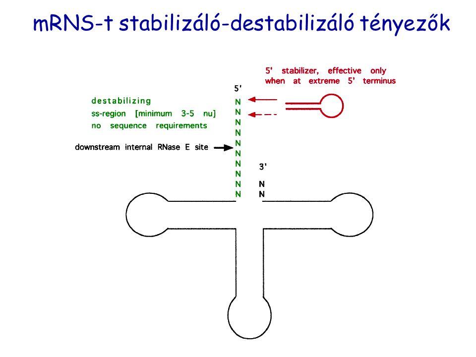 mRNS-t stabilizáló-destabilizáló tényezők