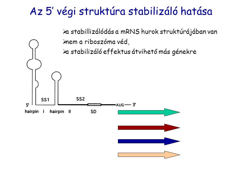 Az 5' végi struktúra stabilizáló hatása  a stabillizálódás a mRNS hurok struktúrájában van  nem a riboszóma véd,  a stabilizáló effektus átvihető m