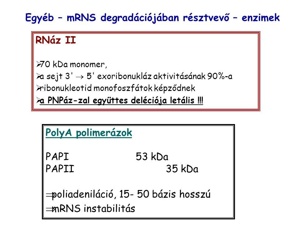 Egyéb – mRNS degradációjában résztvevő – enzimek RNáz II  70 kDa monomer,  a sejt 3  5 exoribonukláz aktivitásának 90%-a  ribonukleotid monofoszfátok képződnek  a PNPáz-zal együttes deléciója letális !!.