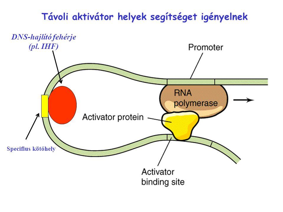 DNS-hajlító fehérje (pl. IHF) Specifius kötőhely Távoli aktivátor helyek segítséget igényelnek