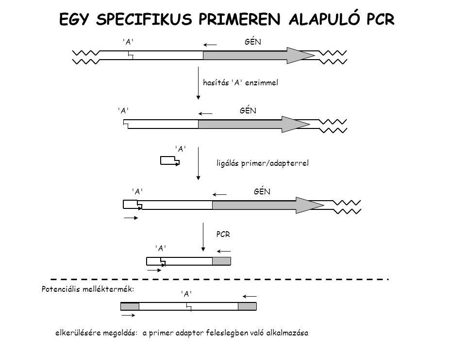 LM PCR, ligálás közvetített PCR, kromoszóma metiláltsági térképezésére GÉN A hasítás A enzimmel GÉN A ligálás primer/adapterrel A GÉN A PCR A ha A metiláció érzékeny  nincs termék ha A izoskizomerje érzéketlen metilációra  van termék