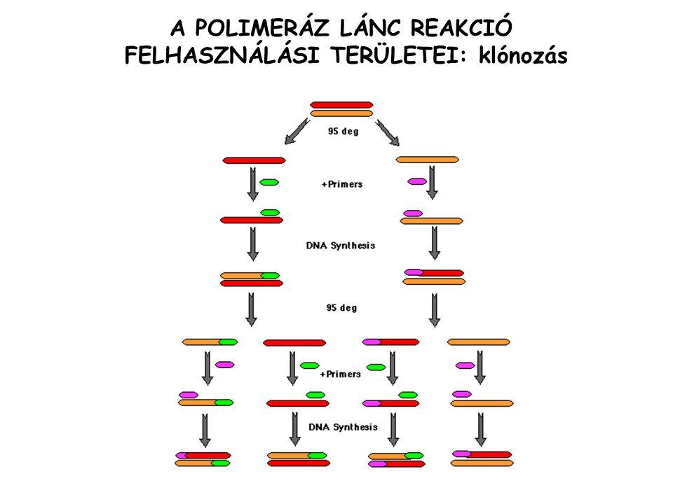 A POLIMERÁZ LÁNC REAKCIÓ FELHASZNÁLÁSI TERÜLETEI: DNS szekvenálás templát DNS ddATP/dNTP PCR egy primerrel ddA terminálódott láncok száma lineárisan sokszorozódik