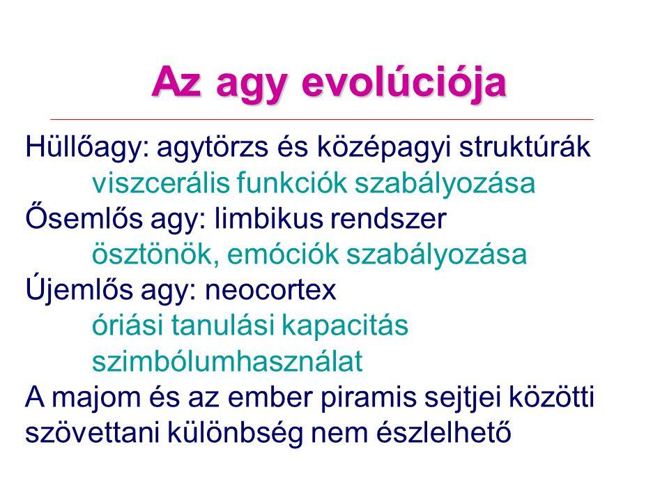 Az agy evolúciója Hüllőagy: agytörzs és középagyi struktúrák viszcerális funkciók szabályozása Ősemlős agy: limbikus rendszer ösztönök, emóciók szabályozása Újemlős agy: neocortex óriási tanulási kapacitás szimbólumhasználat A majom és az ember piramis sejtjei közötti szövettani különbség nem észlelhető