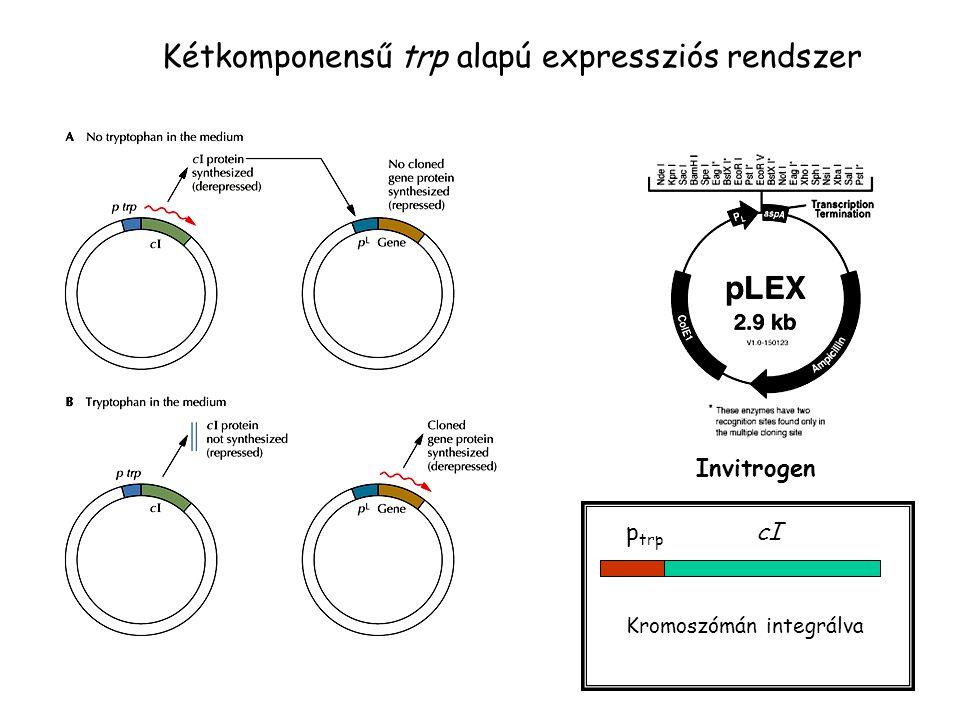 Kétkomponensű trp alapú expressziós rendszer Invitrogen p trp cI Kromoszómán integrálva