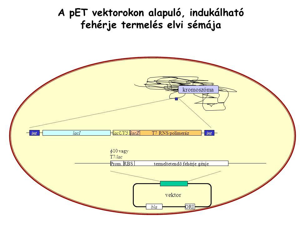kromoszóma lacI lacUV5 lacZT7 RNS polimerázint vektor Prom.RBS  10 vagy T7/lac termeltetendõ fehérje génje ORIbla A pET vektorokon alapuló, indukálha