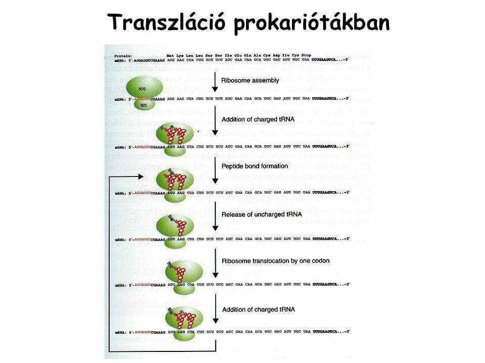 Transzláció prokariótákban